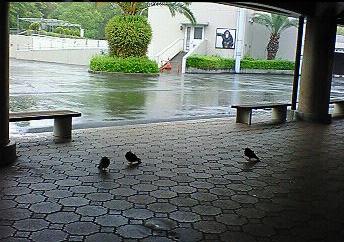 雨宿り鳩2.PNG