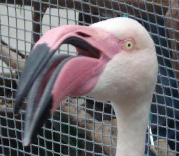 フラミンゴ2.PNG